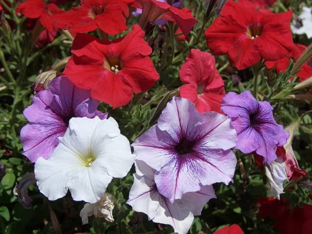 "The Seven Bridges PTA is holding its ""Living Color Flower Fundraiser"" so it can dig up some cash for the repair and upkeep of the middle school's enclosed garden, Besides petunias like these, folks can buy other flowers, herbs, veggies, and plants."