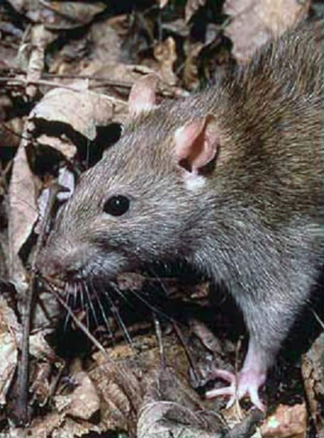 Mount Vernon officials say they are pulling out the stops to deal with a rat infestation problem in town.
