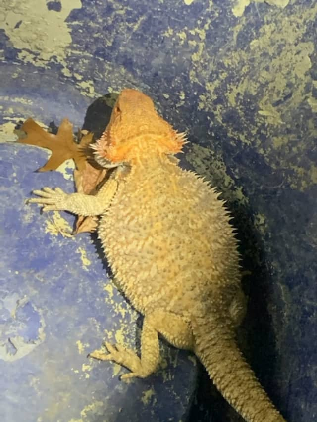 The beard dragon lizard found under a Long Island woman's garbage can.