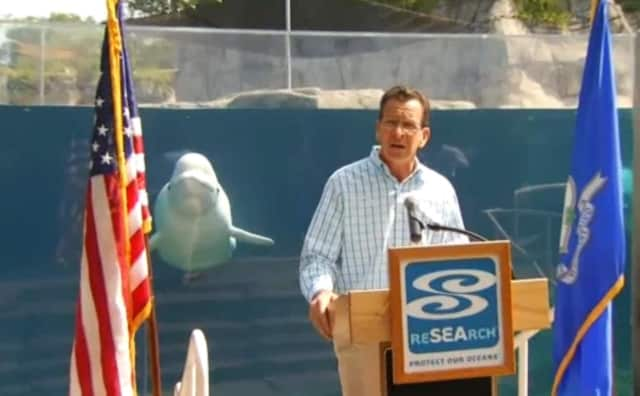 A beluga whale joins Gov. Dannel Malloy for a press conference on Labor Day tourism in Connecticut at the Mystic Aquarium on Wednesday.