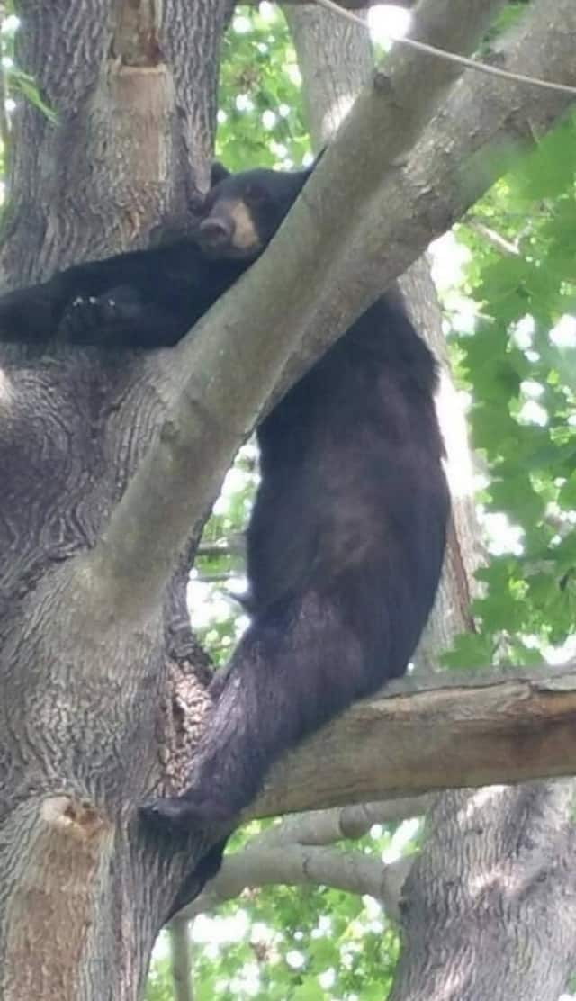 A black bear recently spotted in the area.
