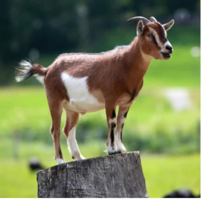 Dozens of goats were seized from a Fairfield County owner after complaints of neglect.