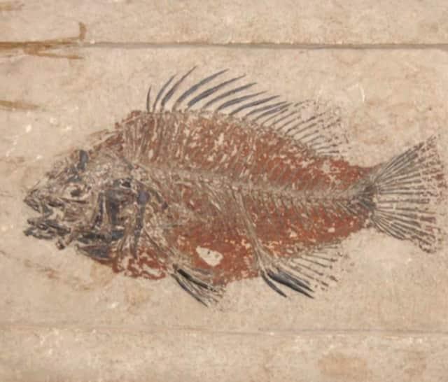 Priscacara serrata, an extinct fish species related to modern perch.