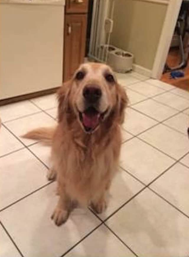 """Grand Marshall, """"Abbie,"""" a Golden Retriever from Somers."""