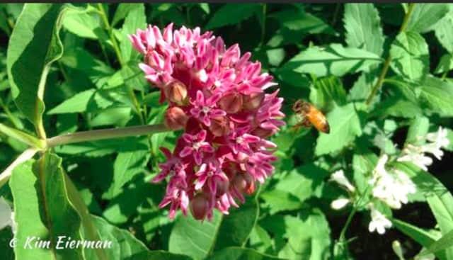 Purple Milkweed and Honey Bee.
