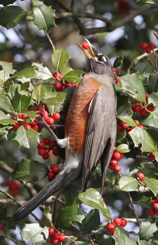 A robin enjoys a holly berry.