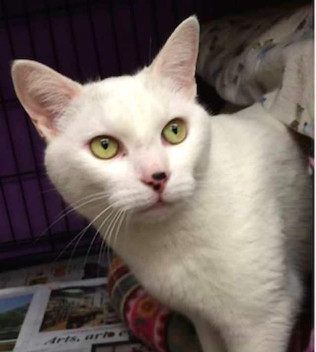 Ghost will be among the cats up for adoption. His family moved away and left him outside.