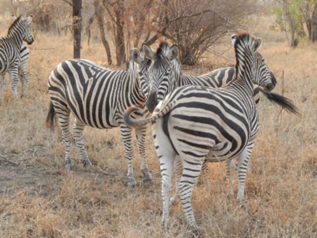 A Greene County resident is looking for his pet zebra after she disappeared on Friday night.