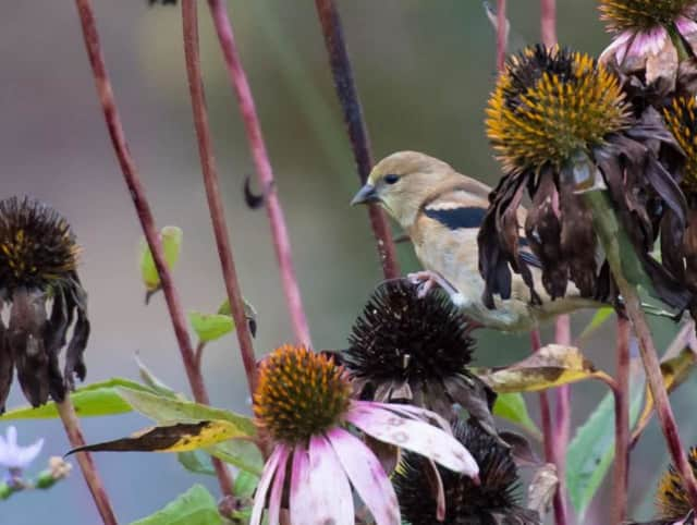 Goldfinch Feeding on Coneflower.