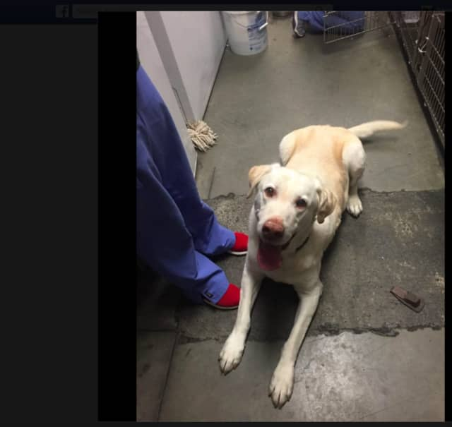 A stray Labrador retriever was found on Bucket Road in Purchase.