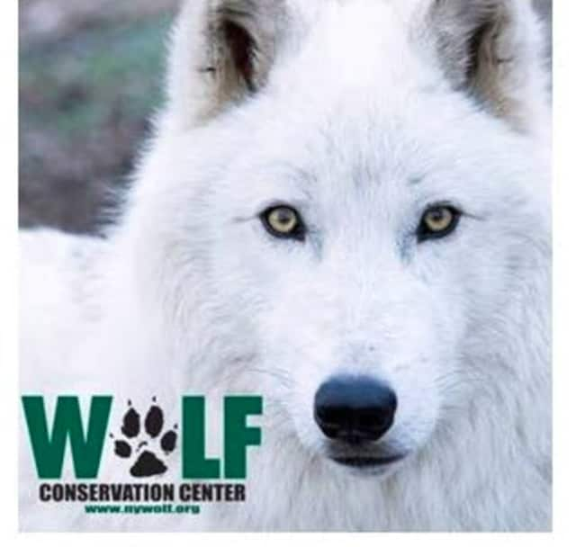 Atka is the oldest ambassador wolf at the Wolf Conservation Center.