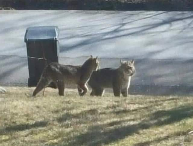 This photo of bobcats taken by a Granite Springs resident Saturday morning is getting attention on social media.