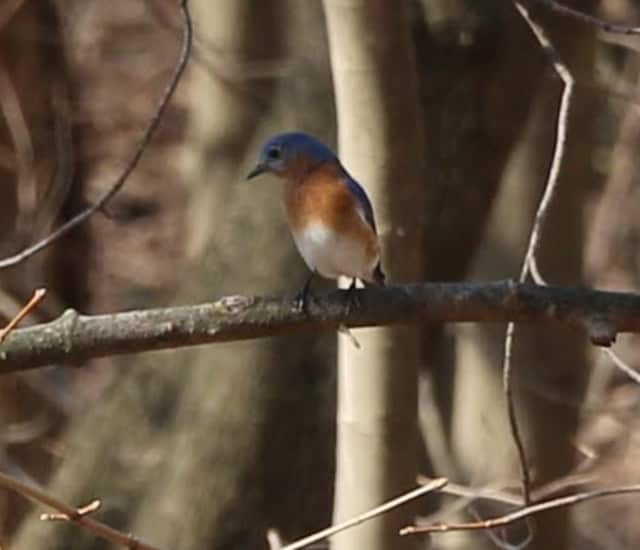 This Eastern Bluebird was spotted on Pace's campus last week. It's the first one he's seen on campus in more than four decades said Angelo Spillo.