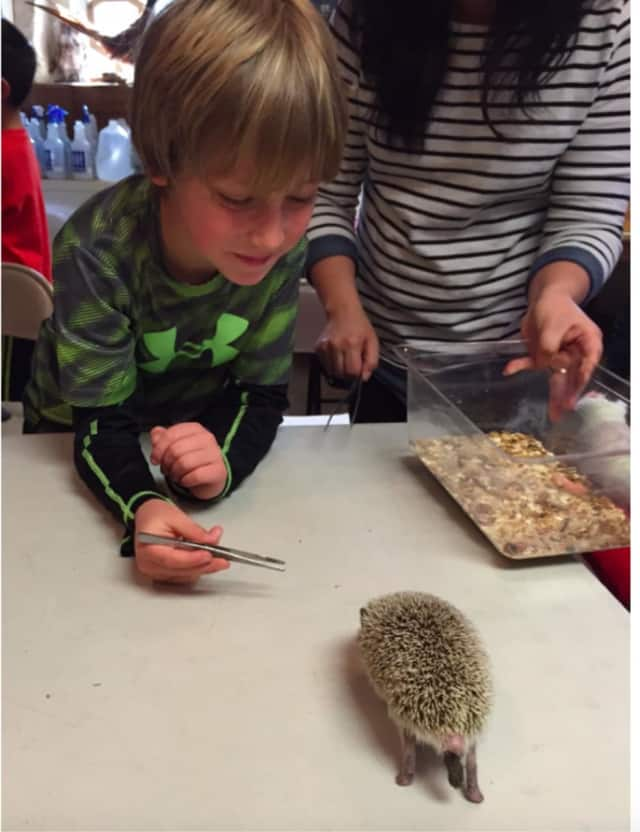 Second Graders at Edgewood School in Scarsdale met Miles the Hedgehog while learning about mammals.