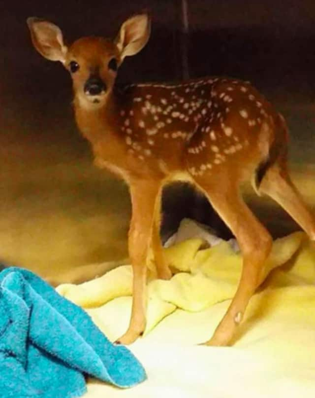 A baby fawn was delivered to the Franklin Lakes Animal Hospital Monday morning.