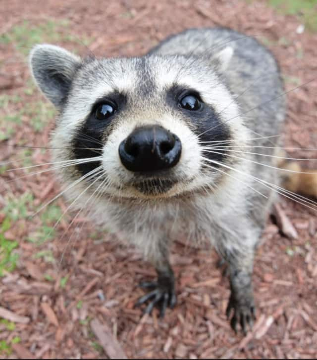 New Castle Police euthanized a rabid raccoon after an incident at Glaizer Park on Tuesday, March 29.