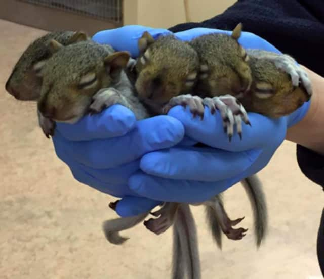 Baby squirrels at the Franklin Lakes Animal Hospital.