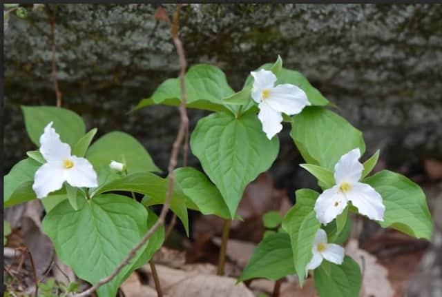 Trillium grandiflorum (Large-flowered Trillium).