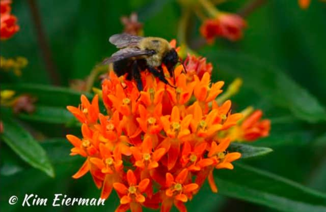 Native bee on Butterflyweed