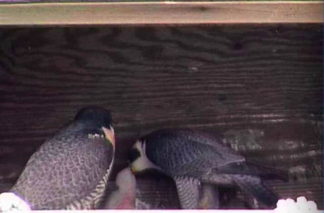 The NY New Bridge Authority is asking the public to help name the new baby falcon chick born earlier this month.