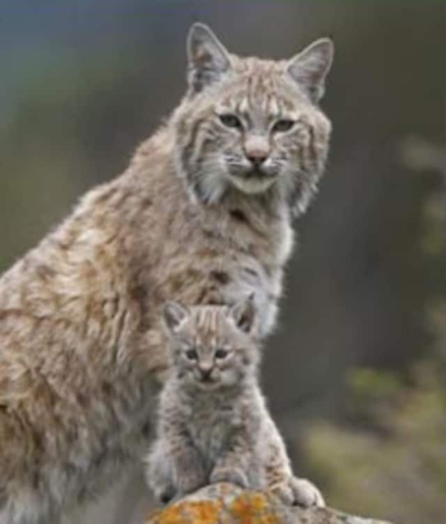 The Edith Wheeler Memorial Library will host a talk on Connecticut's growing bobcat population June 11.