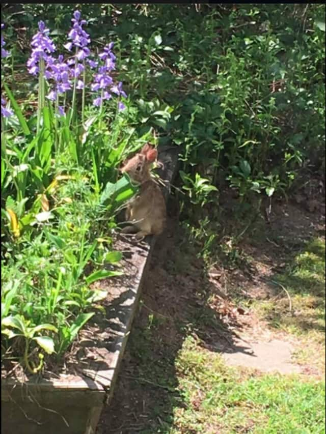 The Trumbull Historical Society has a resident bunny that loves the herb garden. Help the society name him.