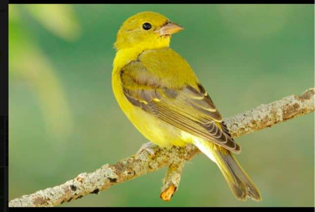 """Scarlet Tanager female. The Brookfield Library will host a program called """"Attracting Summer Birds"""" with Margaret Robbins of Wild Birds Unlimited in Brookfield, on May 24 at 7 p.m."""