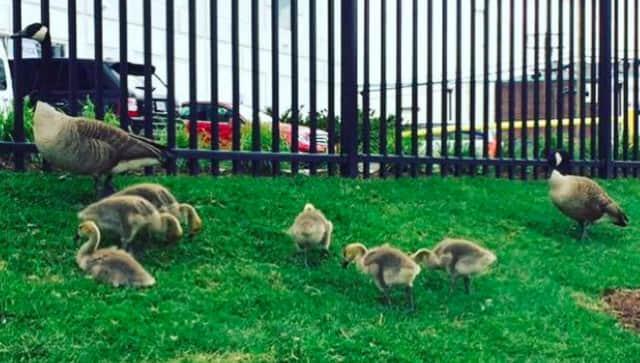 Goslings snack of grass in Hackensack.