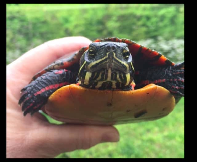 Here's a painted turtle found just after it rained by Redding's zoning officer, Aimee Pardee.