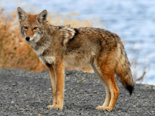 Ossining police are warning residents to be extra cautious after an apparently rabid coyote attacked several people at a gated community and at another neighborhood off Route 9 in the village. The coyote pictured is not the animal in question.