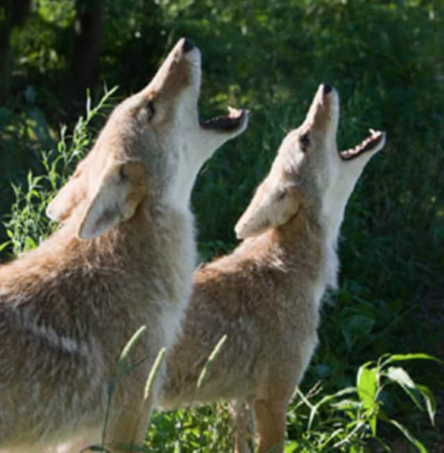 Coyotes are larger than foxes but smaller than wolves.