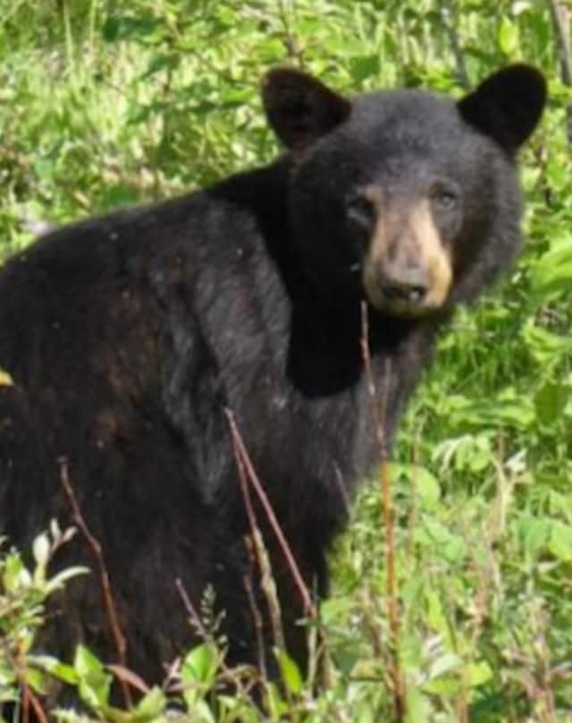Bear sightings are on the rise across Connecticut, and one broke into a home in rural Weston, the town's animal control officer reported.