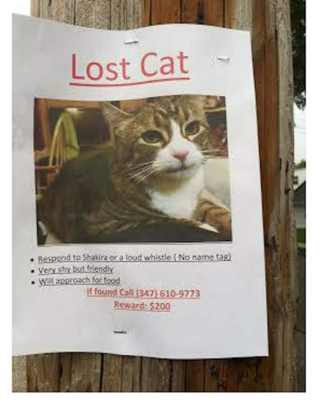 This lost cat is missing from its Yonkers home.