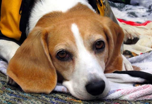 Come read to Maggie the Beagle.