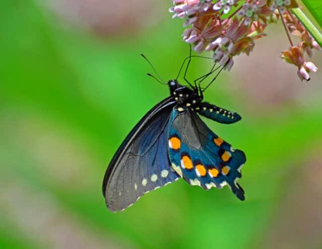 It is important to include a variety of host plants in your landscape to support butterfly caterpillars.