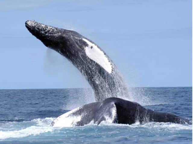 Two humpback whales like these were reportedly seen in Echo Bay Thursday, according to lohud.com.