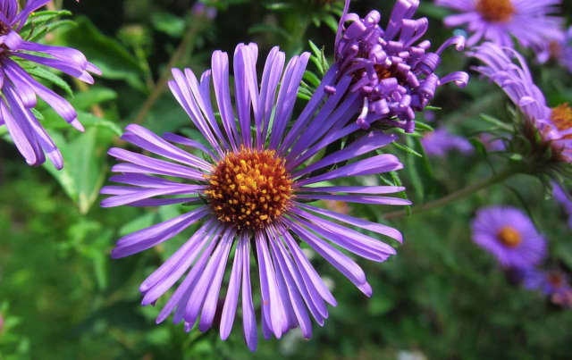 Fall is a good time for planting, such as this Native Smooth Aster.