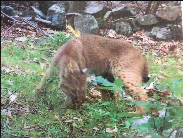 The bobcat was spotted Thursday in the area of Zukor and South Mountain Roads in New City.