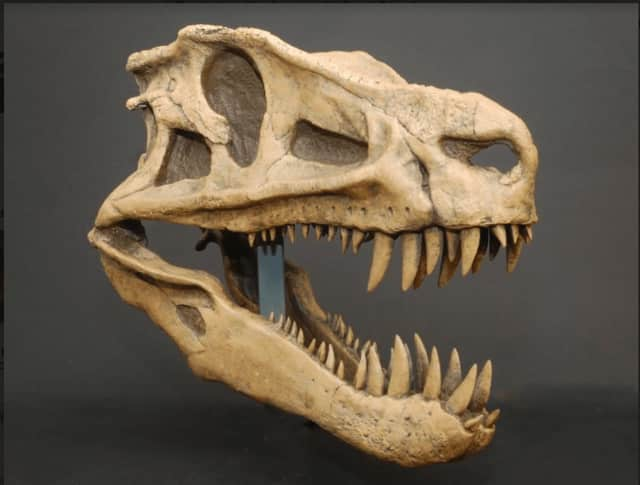 From the Bruce Museum collection: a cast skull of Postosuchus, one of the largest carnivorous reptiles during the late Triassic Period, 200 million years ago. Postosuchus grew to about 13 feet long.