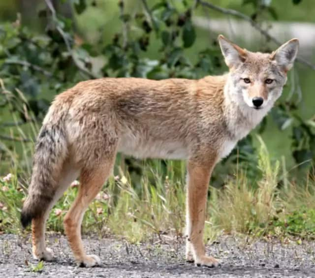 A Bedford resident has reported sighting a coyote in the area several times over the past couple of days.