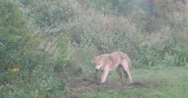 Coyotes are a common sight in the Hudson Valley. One of the wild dogs attacked several people in Ossining and had to be put down by police Wednesday. The female coyote was believed to be rabid.