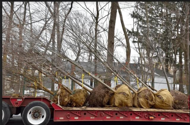 Tree Conservancy of Darien coordinated the delivery of 30 trees donated by Planters Choice Nursery for planting in town.