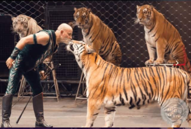Tigers in the Ringling Brothers circus