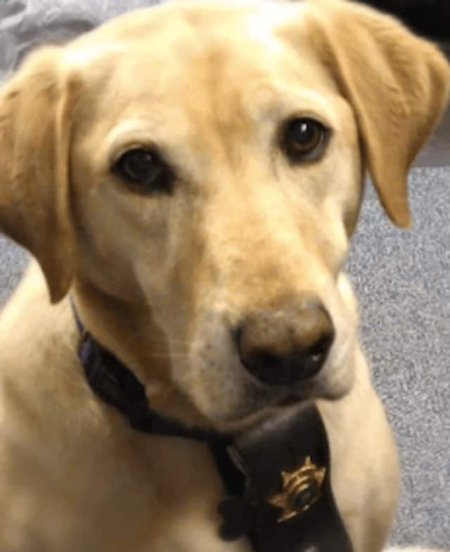 Scooter, a yellow Labrador retriever, rescue dog and Fraud Fighter of the Year as an arson investigator for the Rockland County Sheriff's Department.