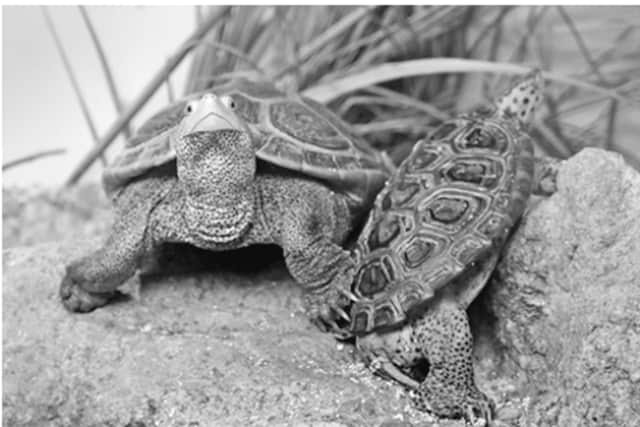 "Encounters with diamondback terrapins are among the fun activities planned for kids participating in the ""Spring Vacation Adventures"" at The Maritime Aquarium at Norwalk during the spring-break week April 10-14."