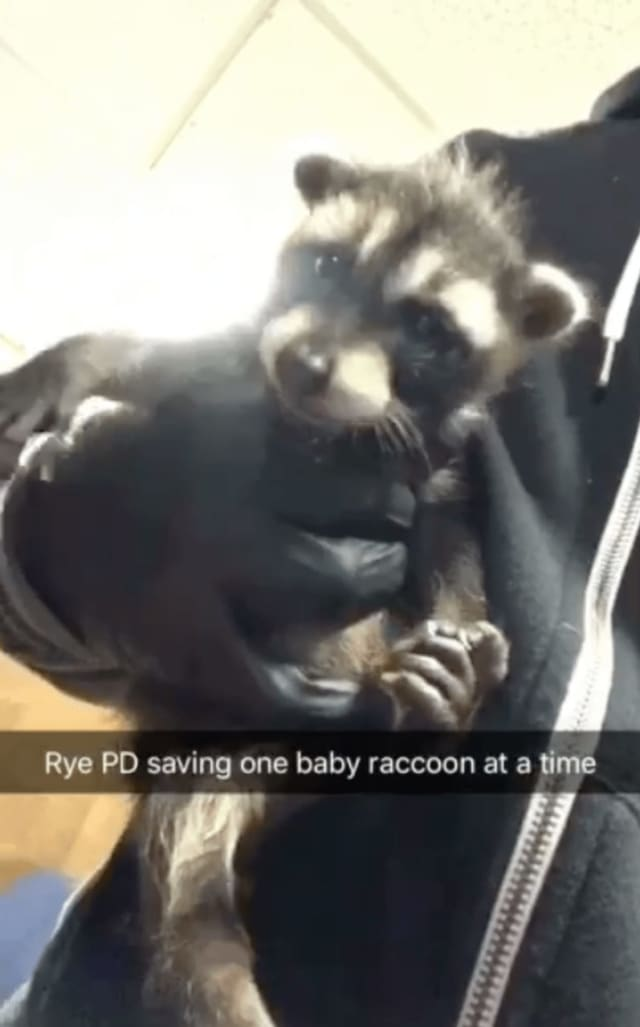 This baby raccoon was rescued by a Rye police officer Sunday night.