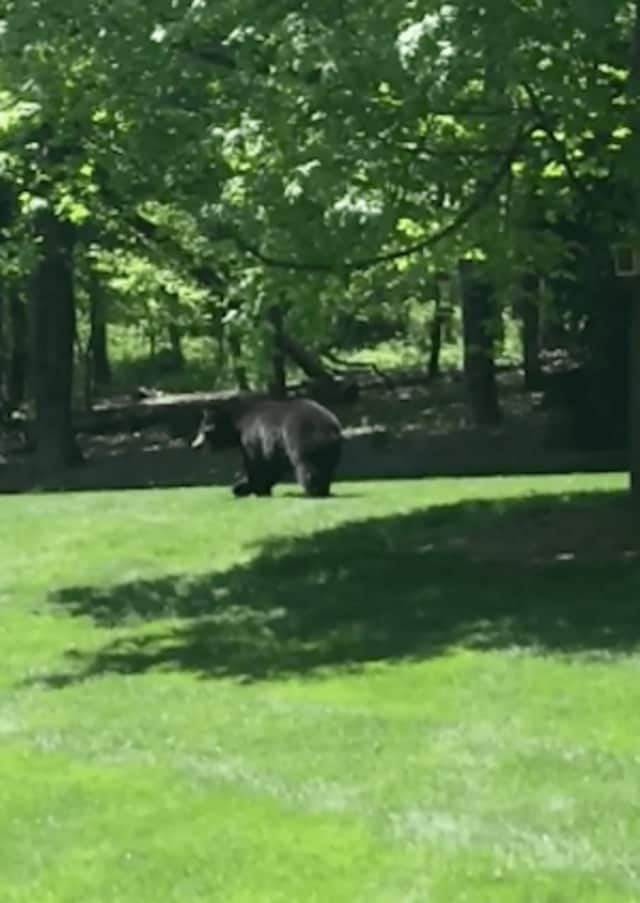 A large black bear — similar to this one — was spotted ambling on Saturday through Redding yard.