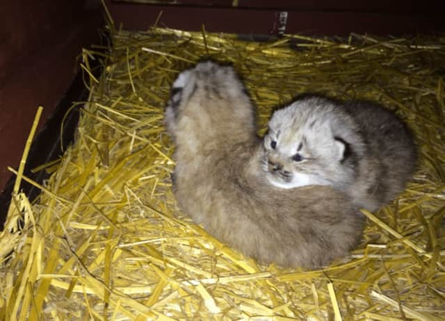Two Canada Lynx babies were born at Connecticut's Beardsley Zoo. The two kittens appear to be healthy, and their eyes are open. So far, they are spending all their time with mom but will go on exhibit later this summer.