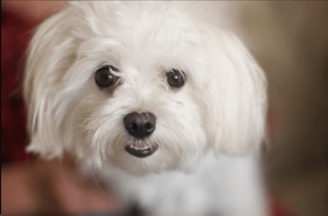 A Ramapo Maltese who was dognapped was returned home.