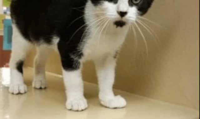 The rabid kitten was black and white, similar to this kitten.